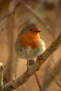Everytime we set up at Lough Lannagh, a beautiful Robin joins us. The Robin hops in and out of the van as we unload the Gongs at Macalla Hall. A welcome participant!
